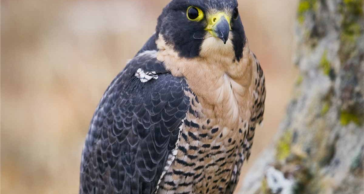 Lessons Learned During the Recovery of the Peregrine Falcon in Canada