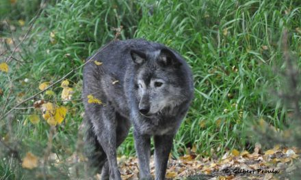 Is There A Mechanism That Causes Wolves from Same Area to Disperse Long-distances in Same Direction?