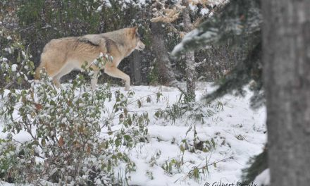 Lack of Evidence of Cattle Depredation by a Small Pack of Wolves of the Cooking Lake-Blackfoot Provincial Recreation Area in East-Central Alberta