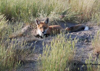 an adult fox laying beside her den