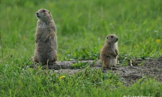 Size and Seasonal Fluctuations of an Extra-limital Population of Black-tailed Prairie Dogs, Cynomys ludovicianus, in Central Alberta