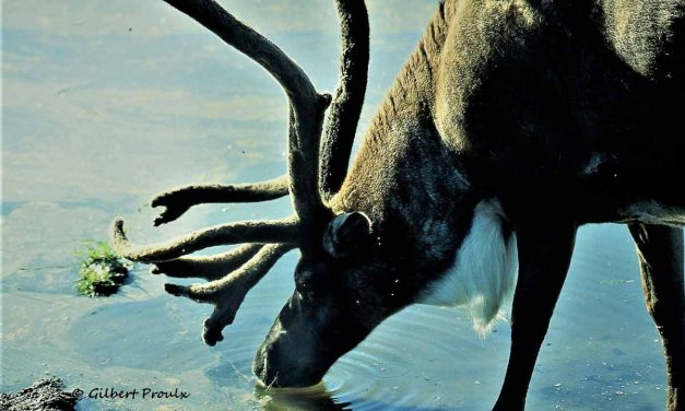 Application of Herd Viability Models for Boreal Woodland Caribou (Rangifer tarandus caribou) to a Northern Mountain Caribou Herd