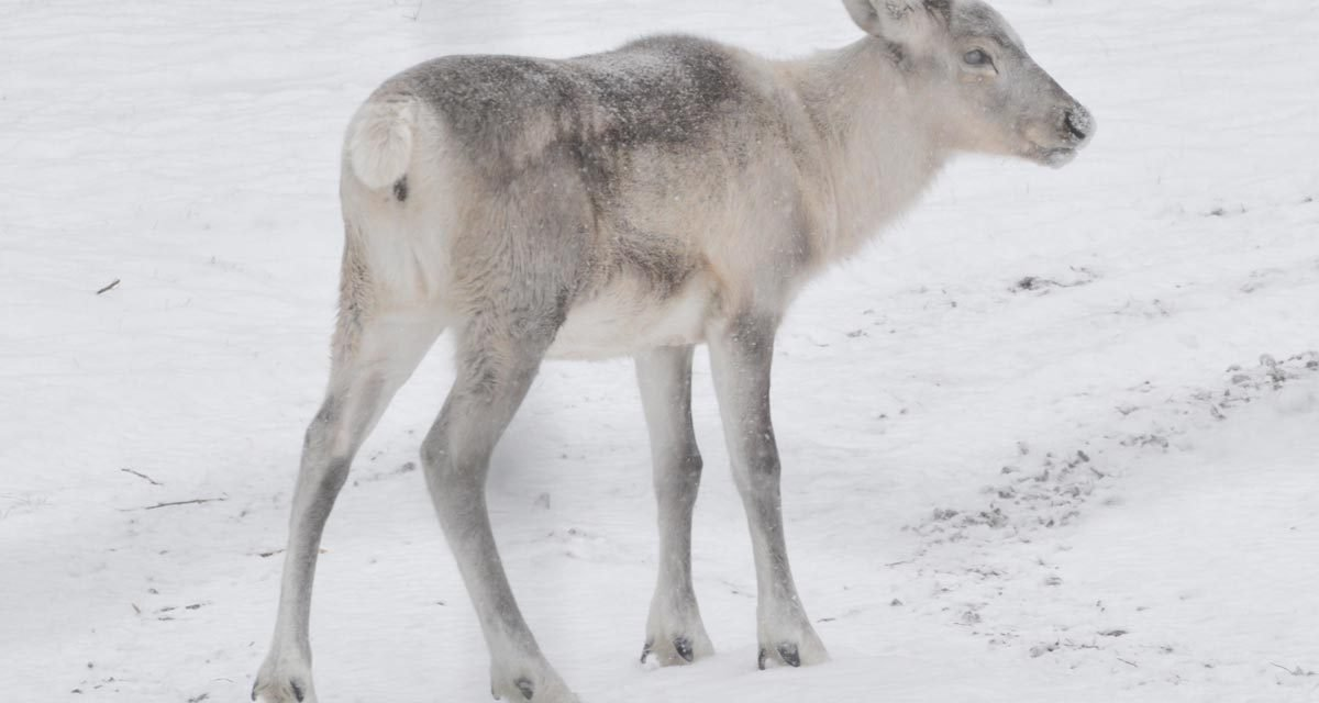 Effects of Snowmachine Disturbance on the Energetics and Habitat Selection of Caribou (Rangifer tarandus) in Gros Morne National Park, Newfoundland
