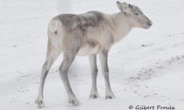 Effects of Snowmachine Disturbance on the Energetics and Habitat Selection of Caribou (Rangifer tarandus) in Gros Morne National Park, Newfoundland