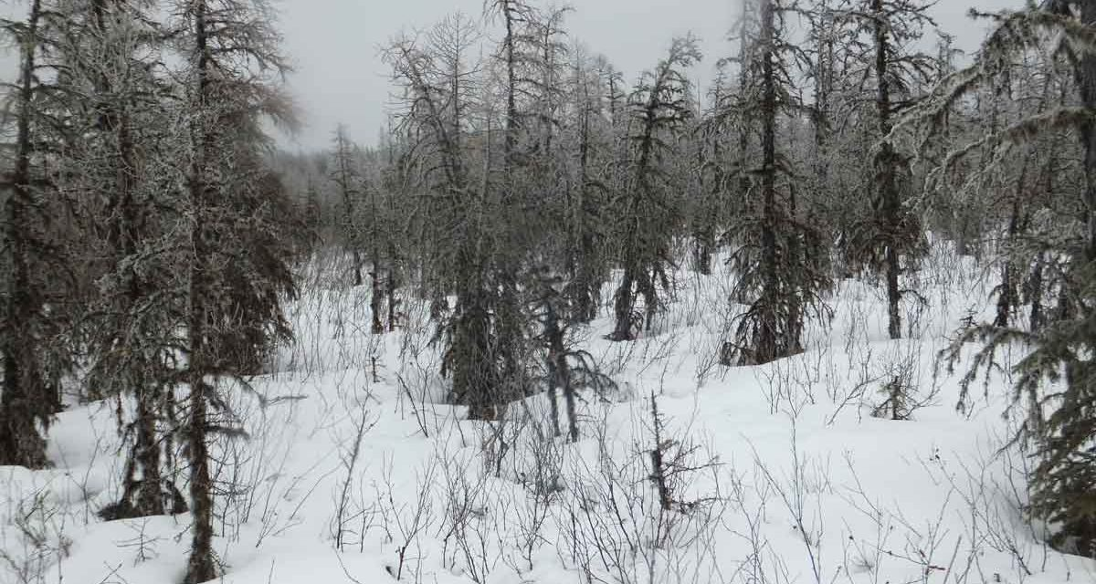 Winter Habitat of the Boreal Woodland Caribou (Rangifer tarandus caribou) in the Northwestern Region of the Mistik Forest Management Area, Saskatchewan