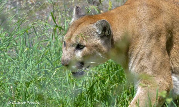 Landscape of Fear for Naïve Prey: Ungulates Flee Protected Area to Avoid a Re-established Predator