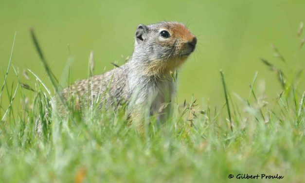 Demography and Life History of a Manitoba, Delta Marsh Population of Franklin's Ground Squirrels (Poliocitellus franklinii)
